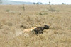 Female lion  taking down  Cape buffalo calf,  Ngorongoro Crater, Tanzania
