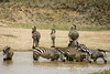 Zebras bathing