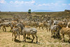 Zebras in Ngorongora Crater with jeep of tourists enjoying the view