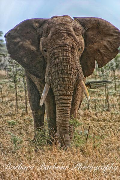 Big Elephant, Tanzania