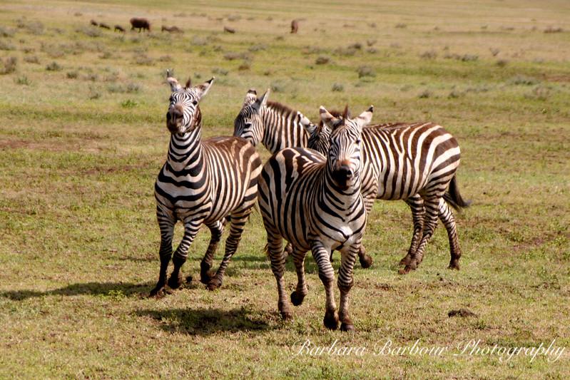 Running Zebras