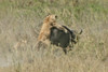 Female Lion attacks Cape Buffalo calf , Ngorongoro Crater, Tanzania