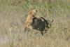 Female Lion attacks Cape Buffalo calf , Ngorongoro Crater, Tanzania