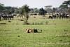 Lion watching herd of Zebras, Tanzania