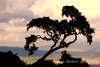 Tree overlooking Ngorogoro Creater at dusk