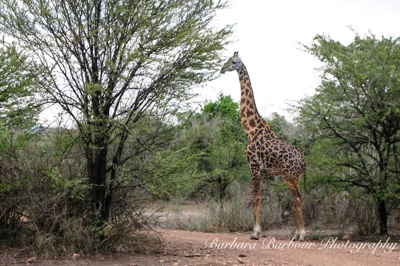 Lone Giraffe feeding on tree top, Tanzania