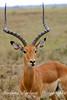 Impala, Serengeti,  Tanzania