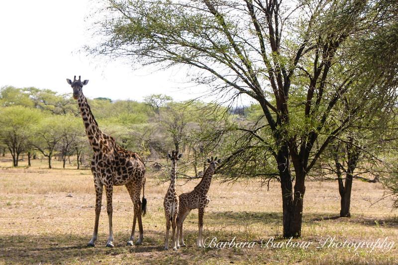 Giraffes and Babies 1