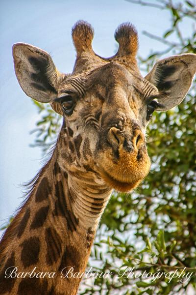 Giraffe Portrait, Tanzania