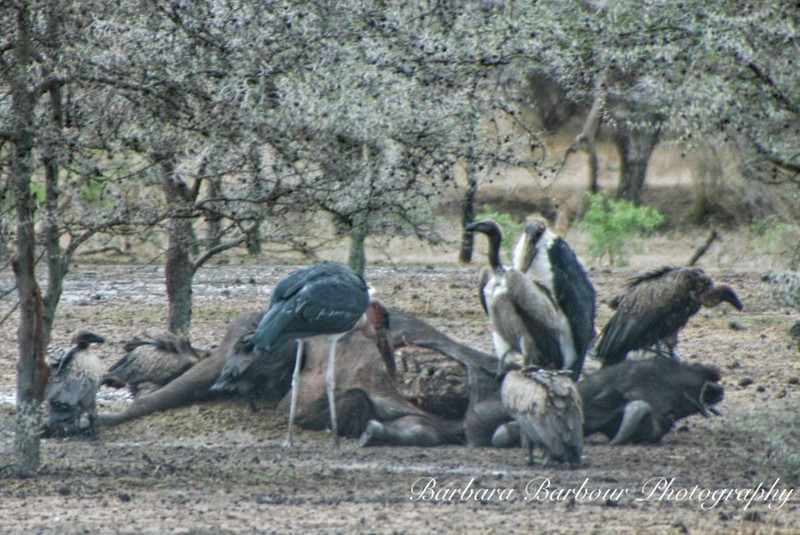 Vultures and birds feeding on Cape Buffalo remains, Tanzania