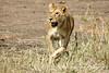 One Female Lion