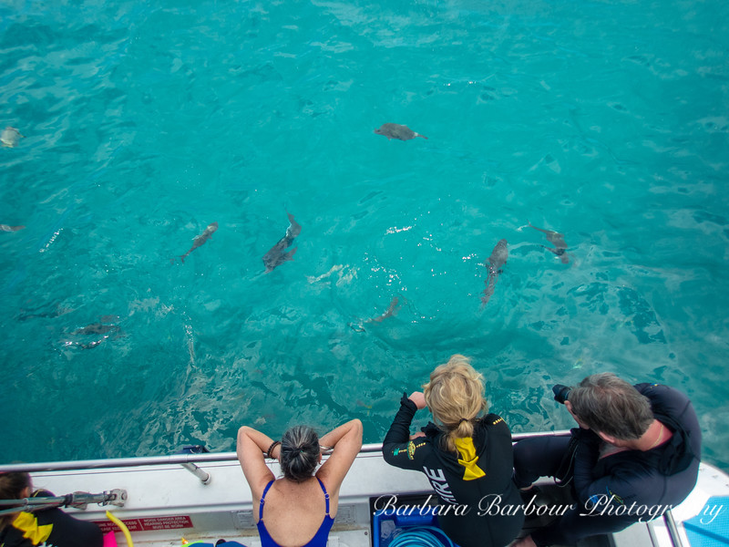 Feeding fish, Great Barrier reef