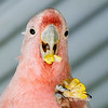 Parrot eating in Cairns, Australia