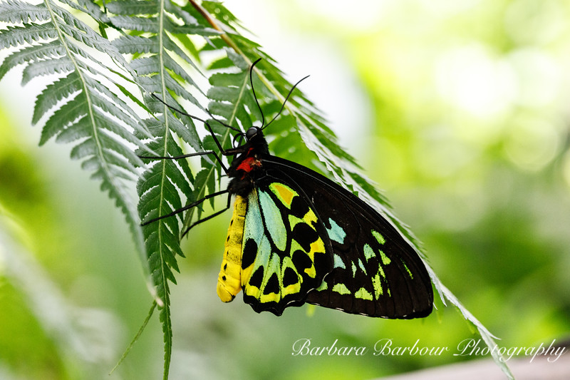 Cairns Birdwing Butterfly