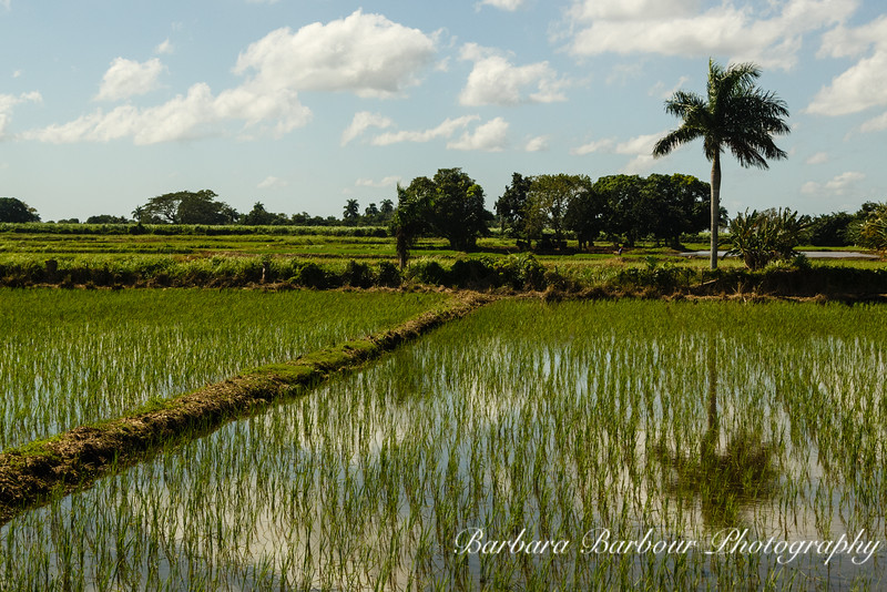 Rice fields in Cuba