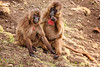 Male and Female gelada baboons, Simien Mountains