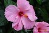 Pink Hibiscus (2)