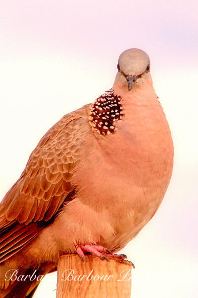 Spotted Dove on Perch