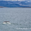 Whale off Vigur Island, North Western Coast of Iceland