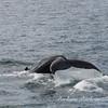 Whale off Vigur Island, North Western Coast of Iceland