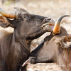 wild brown cows grooming each other