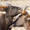 Gaur Bison growing each other