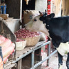 Cow eating shallots at market