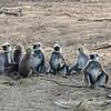 Gray Langur monkeys in group