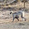 Gray Langur monkey with baby