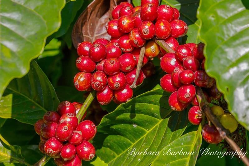 Ripe Coffee beans on bush