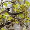 Gray Langur Monkey