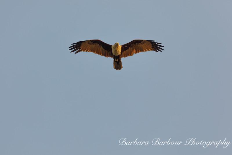 Soaring  Kite bird
