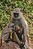 Family of monkeys in India