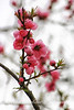 Pink Plum Blossoms, springtime, Japan