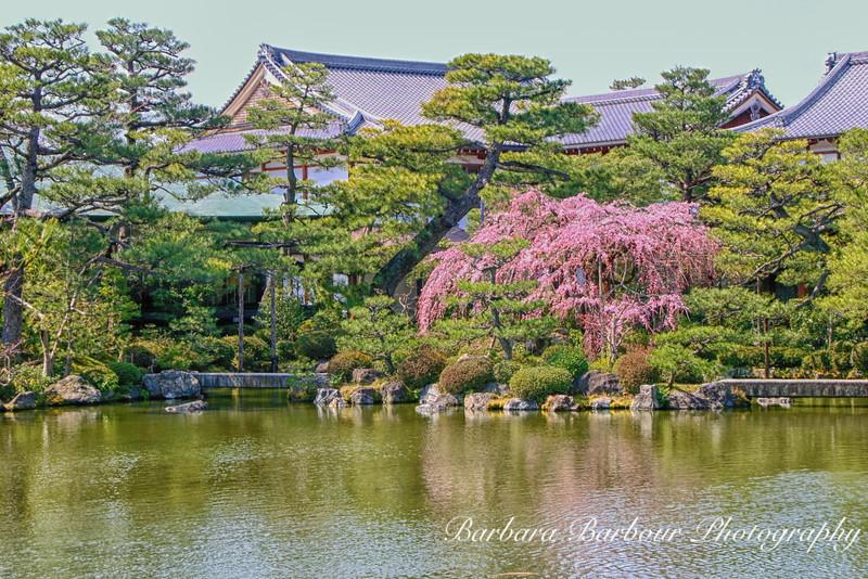 Cherry blossoms in garden in Heian Jingi Shrine Garden, Kyoto, Japan