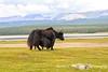 Yak, Lake Hovsgol, Mongolia