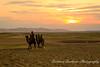Bactrian Camels, Khongoryn Els, Gobi Desert