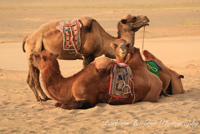 Three Bactrian Camels,  Khongoryn Els, Gobi Desert, Mongolia