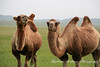 Bactrian Camels, Hovsgol Province