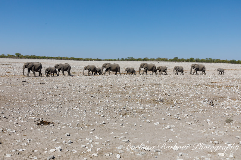 Herd of Elephants on the move