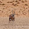 Oryx in Dunes