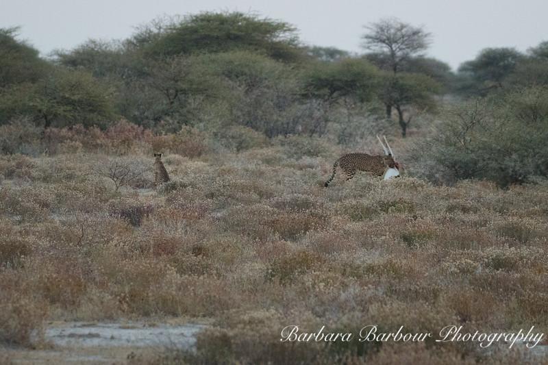 Cheetah  with recent Oryx kill