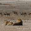 Lions watching Springbok