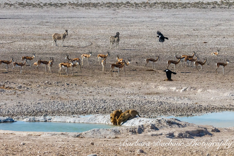 Lion Cubs at watering hole, while other animals watchful