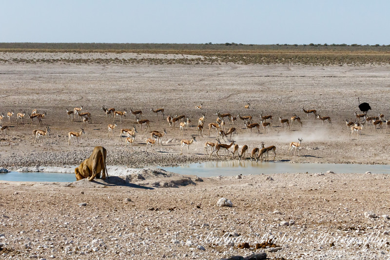 Lion at watering hole, other animal stand by