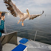 Woman taking photo of pelican landing