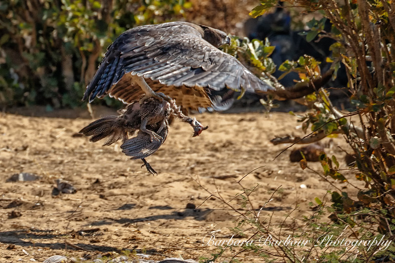 Tawny Eagle with Guinea fowl