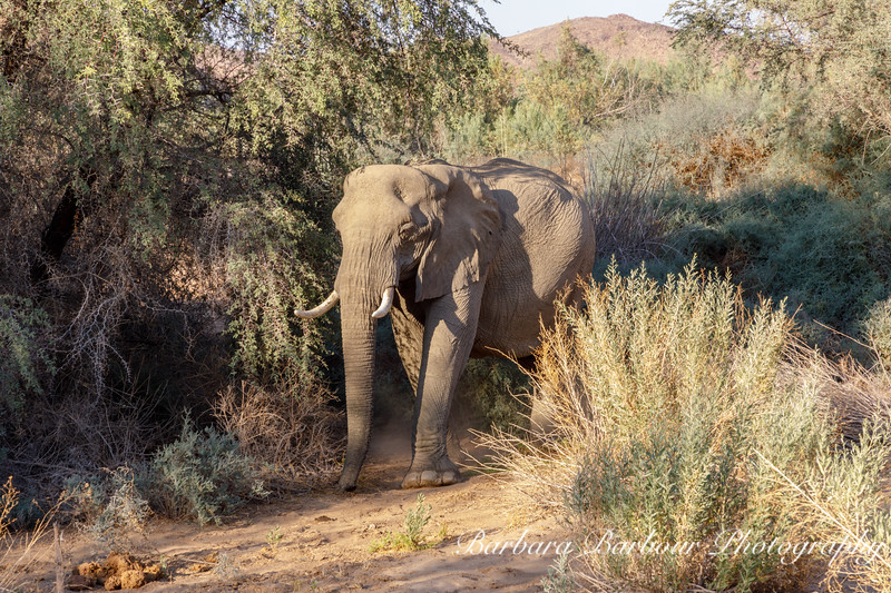 Elephant in Damaraland