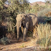 Elephant in Damaraland