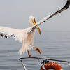 Pelican about to take off